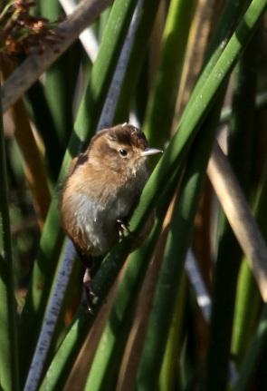 Marsh Wren visits again (J. Waterman 9-17-16)