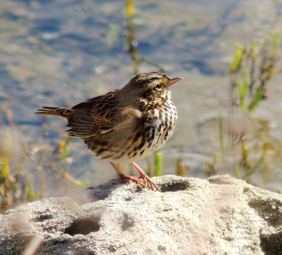 Belding's Savannah Sparrow, Ballona Lagoon 11/19/16 Nancy Conner