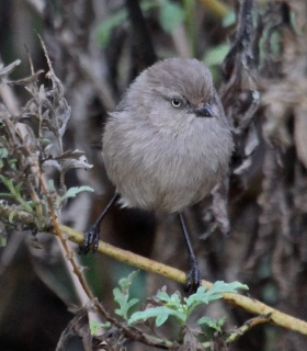 Female Bushtit has a yellow eye (J. Waterman 11-27-16)