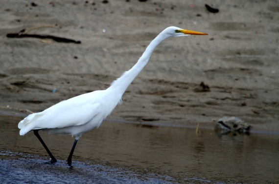 "Great Egret at full stretch, 39"" bill-tip to toe-tip<br/>(J. Waterman 11-27-16)"