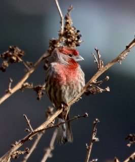 House Finch male (J. Waterman 11-27-16)