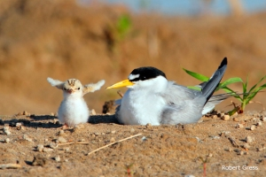 lete-mother-and-chick