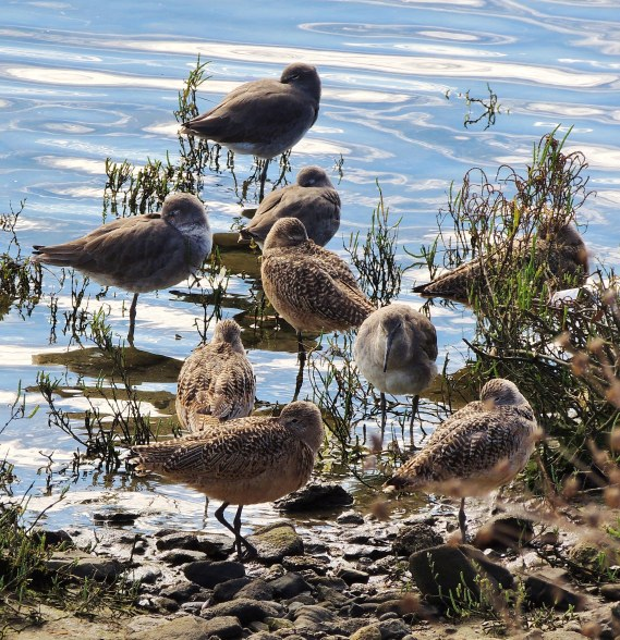 Marbled Godwits, Willets, Ballona Lagoon 11/19/16 Nancy Conner