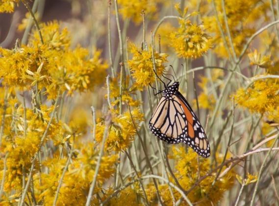 Monarch butterfly (Roxie Seider 10-29-16)