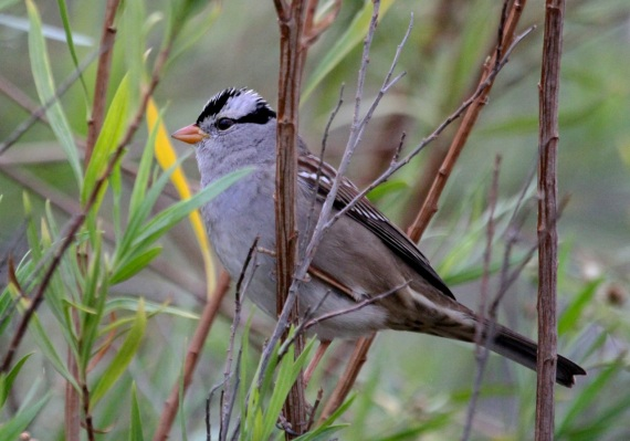 Adult White-crowned Sparrow (J. Waterman 11-27-16)