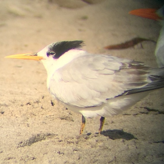 Elegant Tern on a little phone (Chris Tosdevin 11-27-16)