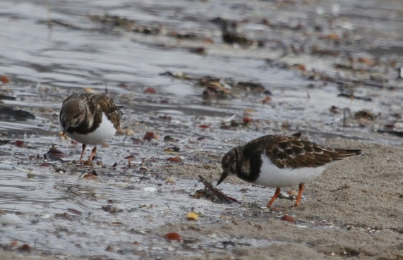 Ruddy Turnstones (J. Waterman 11-27-16)