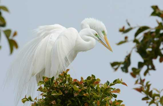 Great Egrets nesting in the Malibu shopping center (Fraida Gutovich 4-3-16)