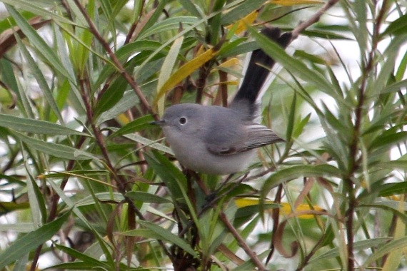 Blue-gray Gnatcatcher (J. Waterman 12-10-16)