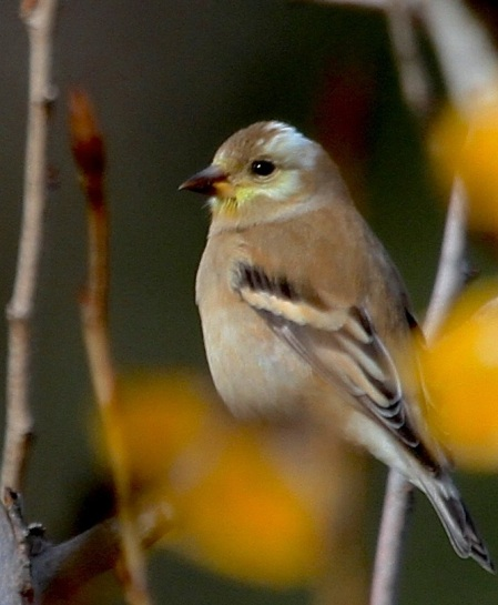 American Goldfinch: the peculiar white on the crown had the same pattern on the other side of his head (J. Waterman 12-10-16)