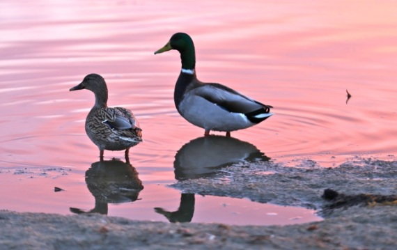 Mallards at sunset (David Hershkowitz 12-9-16)