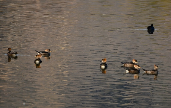 Seven female Hooded Mergansers (Grace Murayama 12-25-16)