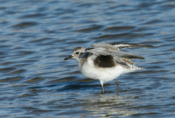 Black-bellied Plover shows his famous black axillaries (Fraida Gutovich 12-25-16)