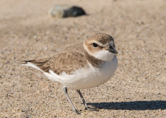 Juvenile Snowy Plover (Ray Juncosa 12/25/16)