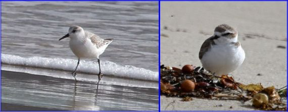 Sanderlings (L) and Snowy Plovers (R) get along well, frequently sharing roosting sites (J. Waterman 11-27-16)