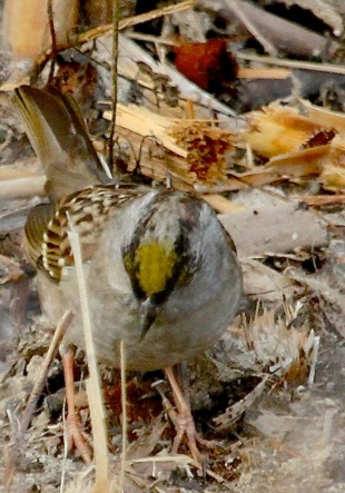 Golden-crowned Sparrow with an exceptionally golden crown (J. Waterman 12-10-16)