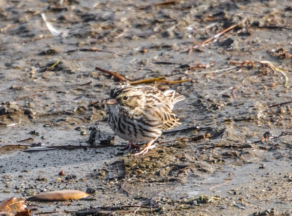 Savannah Sparrow (Ray Juncosa 12/25/16)