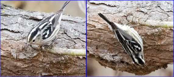 Black & White Warbler, twirling on a twig (Randy Ehler 12-10-16)