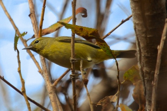 Orange-crowned Warbler, yellower in the west than in the east (J. Waterman 12-10-16)