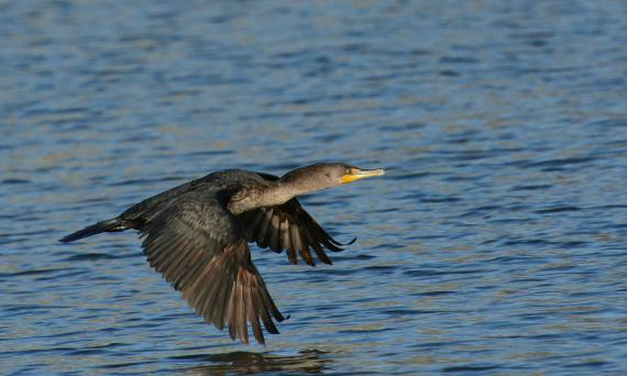 2Double-crested Cormorant, working hard to fly (Fraida Gutovich 12-25-16)