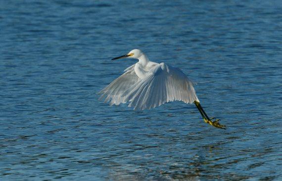 2Snowy Egret lifting off (Fraida Gutovich 12-25-16)