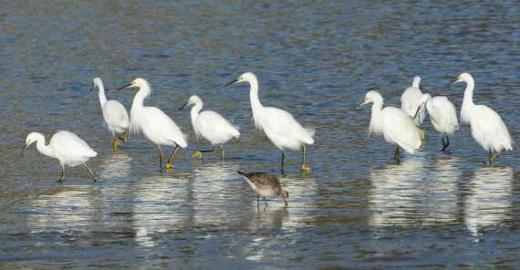 2Snowy Egrets on the march (Fraida Gutovich 12-25-16)