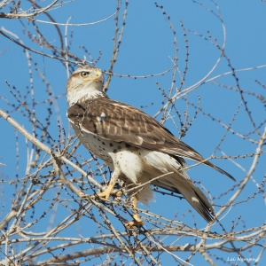 Ferruginous Hawk, Jan. 2014, Loi Nguyen