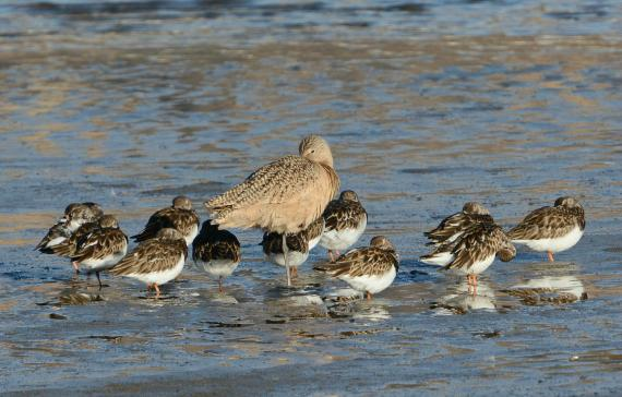 2Momma & babies? Nope. Marbled Godwit surrounded by Ruddy Turnstones, all asleep. (Fraida Gutovich 12-25-16)