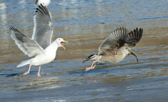 2This time the juvenile gets away with the fish (Fraida Gutovich 12-25-16)