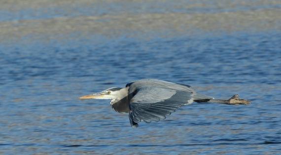 2Great Blue Heron (Fraida Gutovich 12-25-16)