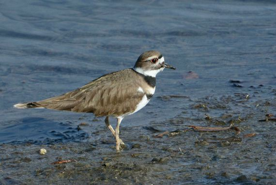 2Killdeer pausing, as usual (Fraida Gutovich 12-25-16)