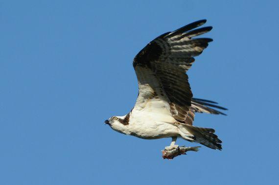Osprey and half-a-fish (Fraida Gutovich 12-25-16)