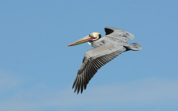 2Brown Pelican adult (Fraida Gutovich 12-25-16)