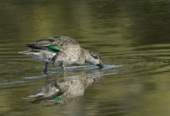 2Now you can see why it's called a Green-winged Teal (Fraida Gutovich 12-25-16)