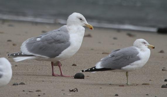GWGU #2 left, California Gull on right (J. Waterman 2-26-17)