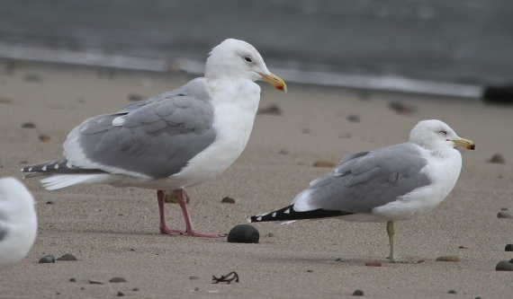 GWGU #2 left, California Gull on right (J. Waterman 2-26-17)