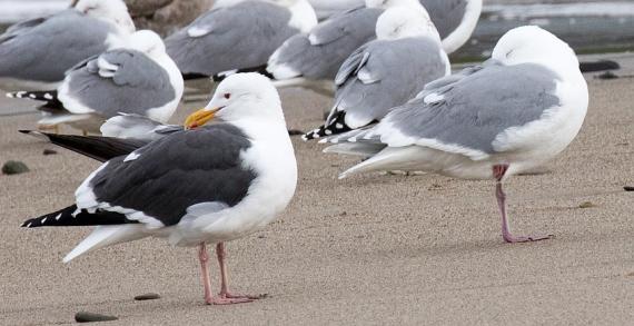 GWGU #1 with Western Gull on left (R. Ehler 2-26-17)