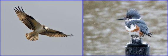 Fish hunters: Osprey (G. Murayama) & Belted Kingfisher female (R. Ehler) 2-26-17