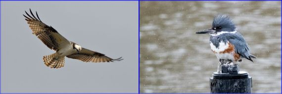 Fish hunters: Osprey (G. Murayama) & Belted Kingfisher female (R. Ehler) 2-26-17