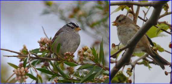 White-crowned Sparrow: Adult (G. Murayama) & immature (J. Waterman) 2-26-17