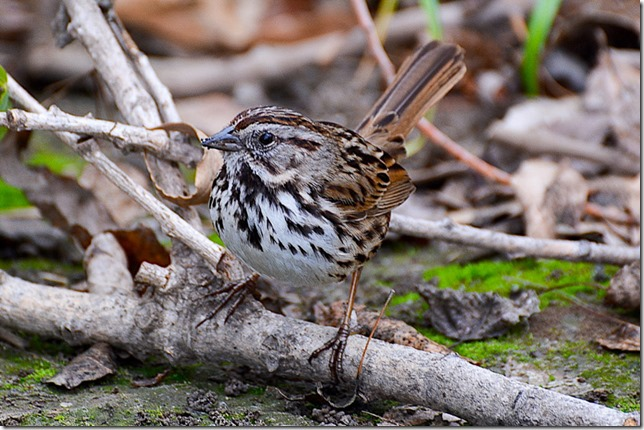 aaa GAM sparrow 031018Sepulv