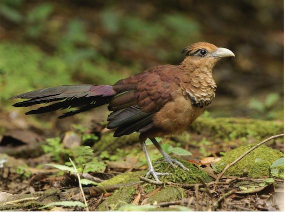 Rufousventedgroundcuckoo